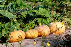 Pumpkins drying in the autumn sunshine, by Ann