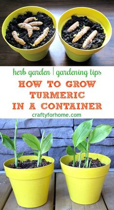 Garden Planning - The easiest and simple way how to grow turmeric in a pot at home garden and get more fresh turmeric for free. Grow turmeric in the container if you have limited space for the garden. Diy Garden, Fruit Garden, Garden Beds, Garden Landscaping, Garden Plants, Pot Plants, Garden Hose, Landscaping Ideas, Garden Tools