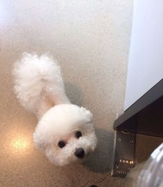 beautiful bichon frise eyes