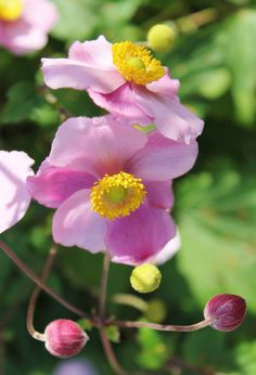 Japanese anemones Hopeful In October