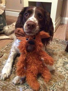 Springer Spaniel very cute