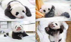 Un-bear-ably cute giant panda cubs make their debut at breeding centre