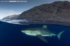 Great white shark at Guadalupe Island. With BigFishExpeditions.com