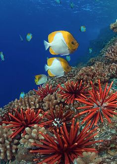 butterfly fish hawaii coral and urchins