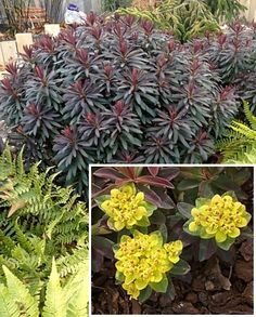 Spurge 'Bonfire' Euphorbia polychroma - Plant forms a compact, densely branched mound with foliage that is a deep purple-red. Bright yellow flowers bloom from the tip of each branch in May-June. (Mine died in Zone May Flowers, Yellow Flowers, Garden Art, Garden Design, Lenten Rose, Landscaping Plants, Landscaping Ideas, Border Plants