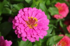 Zinnia Dark Pink:  Use 'Zinnias' in mixed plantings or in cottagge gardens. Dwarf types make great edging plants and can be used in containers. The flowers attract Hummingbirds and Butterflies.