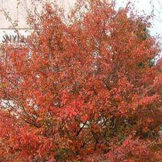 Autumn Brilliance Serviceberry Tree – 22' x16'