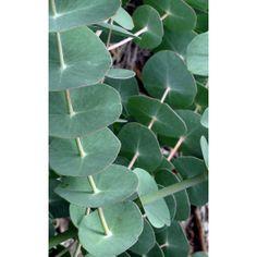 Eucalyptus perriniana (spinning gum)