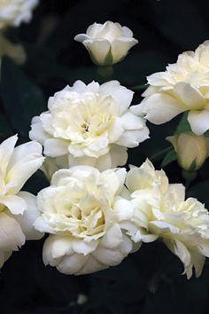 Rosa Banksia Alba - evergreen
