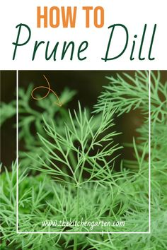 Learn how to prune the dill in your vegetable or herb garden for a bigger harvest! Growing dill isn't difficult, and it's delicious in so many dishes!