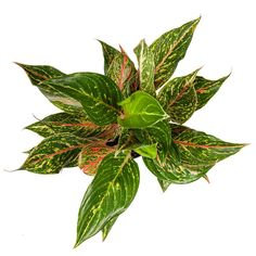 The lush leaves of the Chinese Evergreen Sparkling Sarah are dabbled with pink, green and white. This easy-care plant is pretty adaptable and will thrive in most homes. Organic Ceramics, Easy Care Plants, Plant Lighting, Plant Sale, Houseplants, Color Combos, Evergreen, Pink And Green, Favorite Color