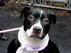 TO BE DESTROYED 01/27/14 Manhattan Center -P My name is DIAMOND. My Animal ID # is A0989780. I am a female black and white pit bull mix. The shelter thinks I am about 9 MONTHS old. I came in the shelter as a STRAY on 01/17/2014 from NY 10453, owner surrender reason stated was PERS PROB. I came in with Group/Litter #K14-165864. https://www.facebook.com/photo.php?fbid=744027725610109&set=a.611290788883804.1073741851.152876678058553&type=3&theater