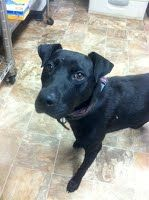 Courtney was an Individual surrender stray. She is real sweet and walks on lead good.1 yr old; hw+; 6/1; 46 lbs
