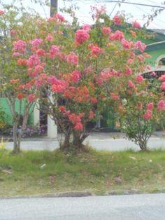 Bougainvillea tree in full bloom....