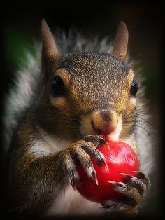 Portrait of gray squirrel.