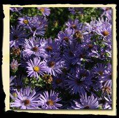 Aster oblongifolius - Fall Aster  {I bought 12 of these yesterday, plus 6 pink ones and 2 liriope.  I hope they do well - they are glorious in the fall in full bloom!}