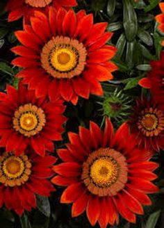 "Gazania rigens 'Big Kiss'.                                 Nancy, I always think of you and I when seeing the ""G's""..."
