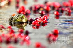 A frog sits among cranberries near cranberry bog in Marstons Mills on Cape Cod, Massachusetts run by Cranberry Cove Farm