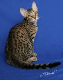 ocicat - after all these years of having a dog, wouldn't it be something if I ended up getting an ocicat?!?!!