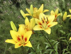 Flower growers know that lilies in the garden naturalize and produce more and more blooms season after season. The secret is dividing lily plants. Learn the tips on how to transplant lilies and divide them in this article.