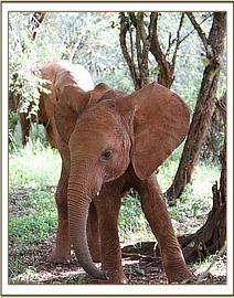 Sonje Baby Elephants, Elephant Love, David Sheldrick Wildlife Trust, Elephants Never Forget, Rhinos, All Things Cute, Family First, Orphan, Adorable Animals