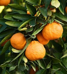 Citrus unshiu bears easy-to-peel fruits with very few seeds and an intense sweet flavor. The juicy fruits are produced on semidwarf, hardy trees. Zones 8-11