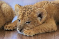 Pet Lion, Lion Cub, Big Cats, Cats And Kittens, Cute Cats, Beautiful Cats, Animals Beautiful, Baby Animals, Cute Animals