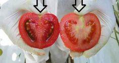 Nous mangeons du poison ! Voici comment identifier les Tomates génétiquement modifiées en 2 étapes…Important à savoir