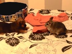 This video is cute for many reasons, two being an adorable puppy and a fluffychinchilla. The other reason the video is being shared is you can see the cautiouschinchilla slowly warm up and confidently approach the little dog. Watch these two learn how to play together with this sweet tag/peekaboo icebreaker: