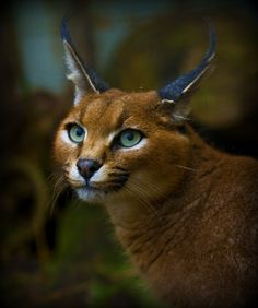 Caracal - Cat Survival Trust (by wendysalisbury) This is what a Caracal looks like guys