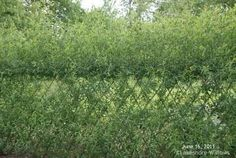Living willow fence a year later