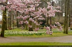 Japanese cherry tree in flowers, shot in Paris floral park, France