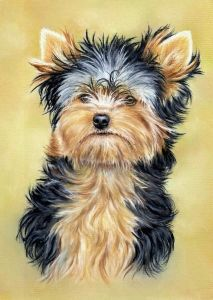 Yorkshire Terrier using Pastel Pencils. Learn to draw this cute picture on my website: http://www.colinbradleyart.co.uk
