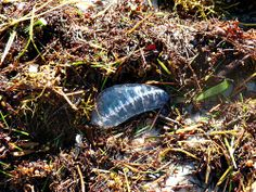 Jellyfish on washed ashore at Coupon Bight Aquatic Preserve