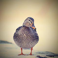 """brown duck on snow"" | Free Photo #Freepik #freephoto #winter #snow #nature #bird Winter Snow, Winter Time, Duck Farming, Mandarin Duck, Natural Park, Wild Nature, Forest River, Free Photos, Pond"