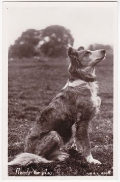 """Portrait of a lovely Border Collie Dog """"Ready for play"""" 1930 real photo postcard Collie Mix, Rough Collie, Welsh Sheepdog, Scotch Collie, English Shepherd, Black And White Dog, Real Dog, Herding Dogs, Vintage Dog"""