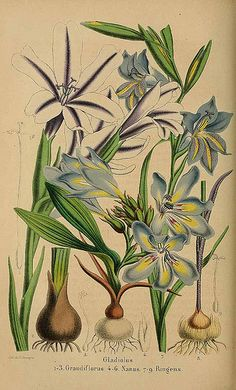 Gladiolus grandiflorus - circa 1859   From our collection of…   Flickr
