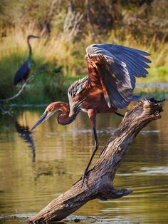 Goliath herons are found in sub-Saharan Africa, but have smaller populations in SW and S Asia. They are considered to be the world's largest heron.