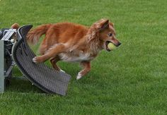 A toller doing flyball! We've thought about doing this with ours.