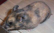 Syrian Hamster Breeding Principles Syrian Hamster Hamster Breeds
