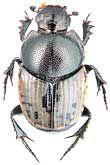 К.В. Макаров: новые макрофотографии для атласа жуков России (ноябрь 2007 г.)
