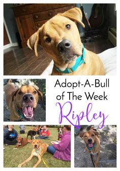 Adopt-A-Bull of The Week – Ripley in Vermont | http://www.thelazypitbull.com/adopt-a-bull-ripley-vermont/