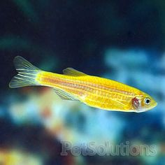 50 Best Freshwater Aquarium Fish Non Agressive Images Freshwater