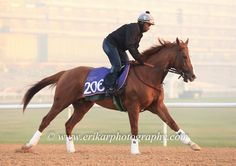 Chrome is looking good ahead of his run this week @ShermanRacing  #CaliforniaChrome | 2016-02-22