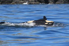 Center for Whale Research 2015 Encounters