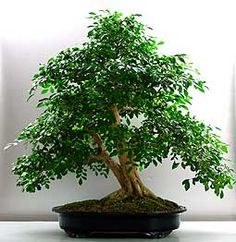 Bonsai - Murraya, Naranjo jazmín Murraya Paniculata, Ficus, Indoor Garden, Shrubs, Flower Arrangements, Planting Plants, Bonsai Trees, Gardening, Nature