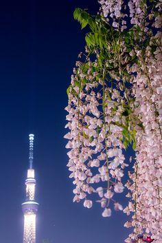 Wisteria at Kameidoten-jinja, Tokyo Unique Flowers, Flowers Nature, My Flower, Pretty In Pink, Flower Power, Beautiful Flowers, Belle Plante, Flowering Vines, Blooming Flowers