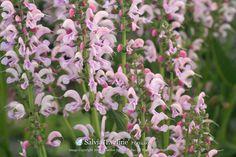 Image result for Salvia 'Eveline'