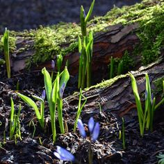 "Polubienia: 599, komentarze: 13 – Mette Fauerskov (@mettebfauerskov) na Instagramie: ""Beautifull small signs: Scilla, moss and sun. Have a beautifull sunday IG friends 🌱🌱 #scilla #moss…"""