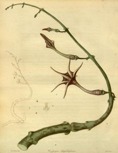 The Botanist, Volume 3 1839: Rare Book Collection of the Missouri Botanical Gardens